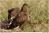 Buzzard - Buzzard On Dead Deer