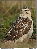 Buzzard - White Common Buzzard