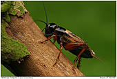 Gryllus bimaculatus - Gryllus bimaculatus