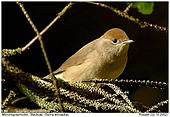 Blackcap - Female Blackcap