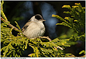 Blackcap - Male Blackcap