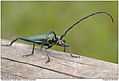 Musk Beetke - Musk Beetle