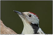 Middle Spotted Woodpecker - Middle Spotted Woodpecker