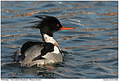 Red-breasted Merganser - Red-breasted Merganser