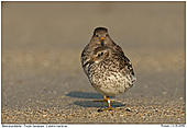 Purple Sandpiper - Pruple Sandpiper