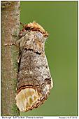 Buff-Tip Moth - Buff-Tip Moth