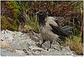 Dun Crow - Juvenile Dun Crow