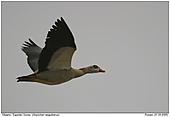 Egyptian Goose - Egyptian Goose