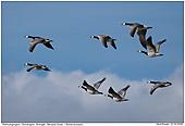 Barnacle Goose - Barnacle Goose