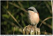 Red-backed Shrike - Red-backed Shrike