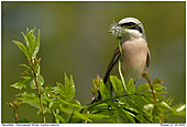 Red-backed Shrike - Nesting materials