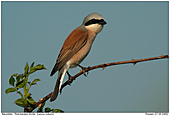 Red-backed Shrike - Just before lift off