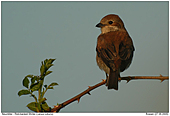 Female Red-backed Shrike - In the evening light