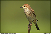 Red-backed Shrike - Female Red-backed Shrike