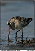 Bar-tailed Godwit - Bar-tailed Godwit
