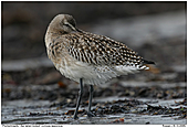 Bar-tailed Godwit - Bar-tailed Godwit