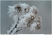 Common Burdock - Frosted Burdock