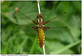 Broad-bodied Chaser - Female Broad-bodied Chaser