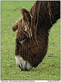Poitou Donkey - Poitou Donkey