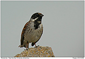 Reed Bunting - Reed Bunting in breeding plumage