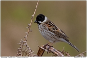 Reed Bunting - Reed bunting on fern