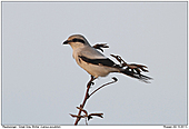 Great Grey Shrike - Great Grey Shrike