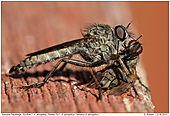 Robber Fly - Robber Fly with Prey