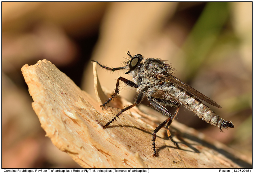 robber flies photos digital nature photography photo robber flies images image pics. Black Bedroom Furniture Sets. Home Design Ideas