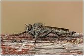 Robberfly T atricapillus - Robberfly T atricapillus
