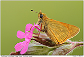 Large Skipper - Large Skipper