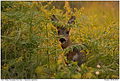 European Roe Deer - European Roe Deer