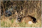 Deer - Deer Taking a Sun Bath