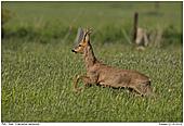 Deer - Deer