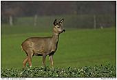 Deer - Deer in a field of rape