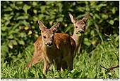 Deer - Juvenile Deers