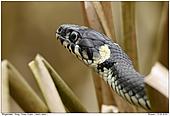 Grass Snake - Grass Snake
