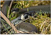 Grass Snake - Two Grass Snakes