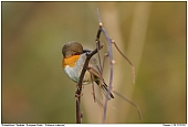 European Robin - Robin cleaning its feathers