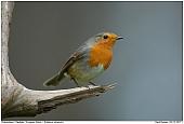 European Robin - European Robin
