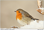 European Robin - European Robin in the winter