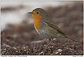 Robin - European Robin