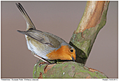 European Robin - European Robin Searching For Food