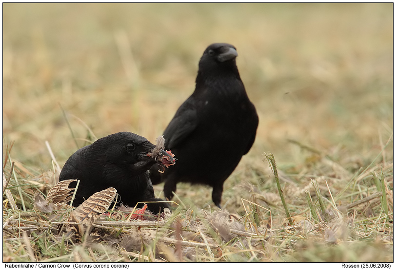 krähen und singvögel