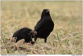 Carrion Crow - Carrion Crows With Dead Pheasant