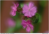 Red Campion - Red Campion