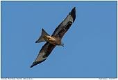 Red Kite - Red Kite in fligfht