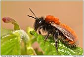 Tawny Mining Bee - Tawny Mining Bee