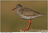 Redshank - Redshank