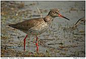 Redshank - Redshank - married -)