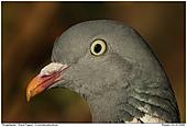 Wood Pigeon - Wood Pigeon - Portrait